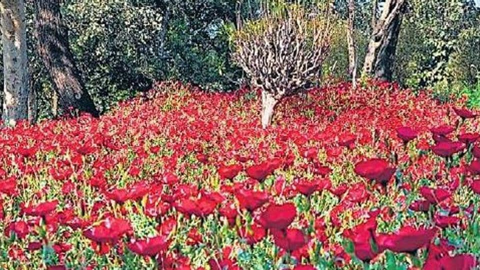 The linum flowers in Delhi's Nehru Park are clustered over a small space like a dense thicket, shining as red as Kashmiri apples.