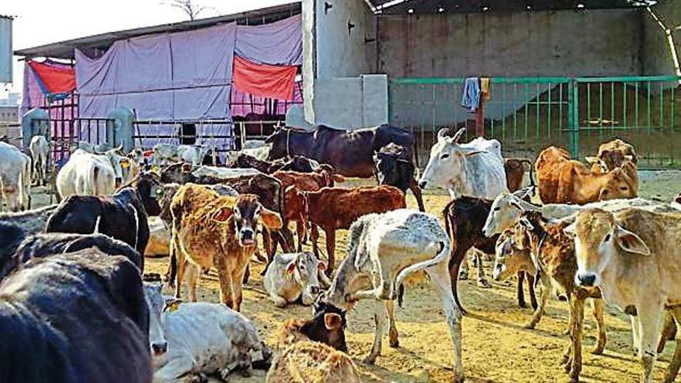 At 'Gau-Lok', a shelter in Jalpura village, 200 cows, buffaloes, bulls and calves died between January 1 and March 7.