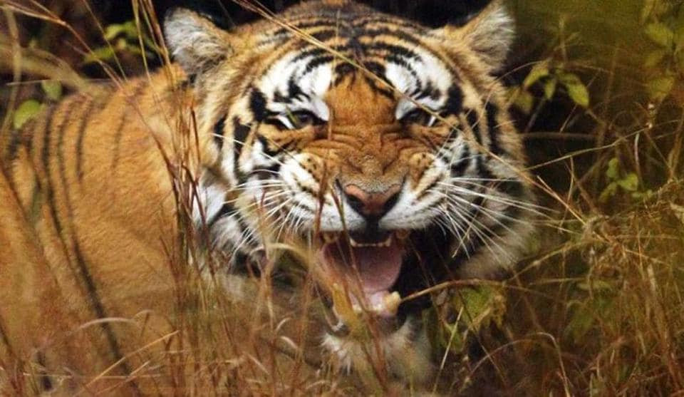 Wildlife experts say that Madhya Pradesh has the potential to have more tigers and better quality wildlife tourism. To ensure that, the forest department needs more staff, including senior officials who are interested in wildlife management.