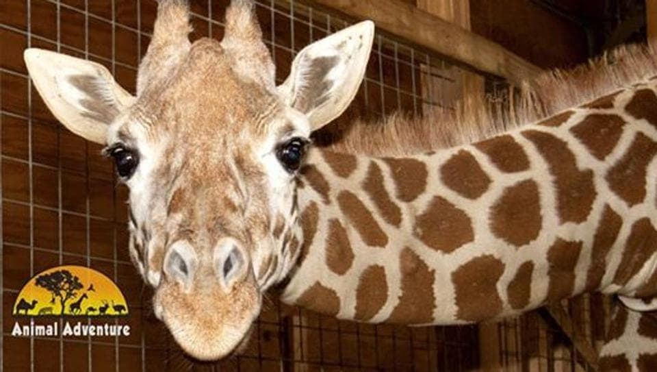 """""""April is eating, eating, eating and eating,"""" Jordan Patch, owner of Animal Adventure Park in Harpursville, New York, said."""