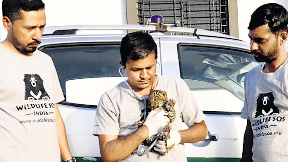 Pune,state forest department,leopard cubs