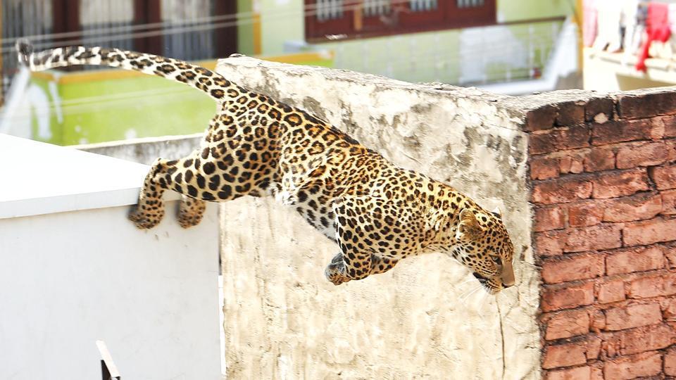 Alwar,Leopard,Leopard in Alwar home