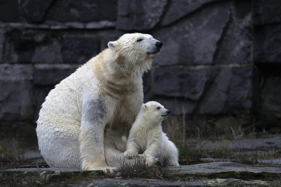The polar bear baby with its mother Tonja inside their enclosure at the Tierpark zoo in Berlin.