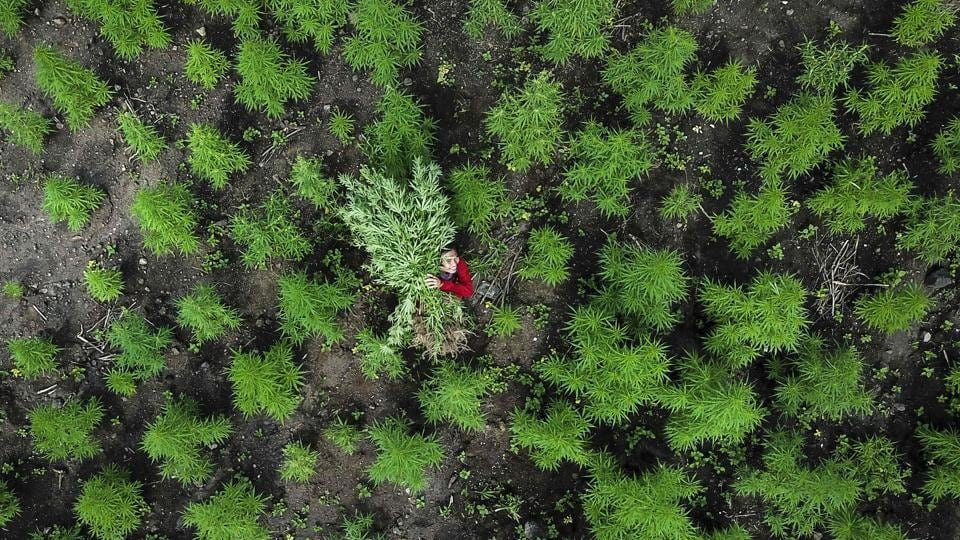 An aerial picture shows a man carrying marijuana plants during a police raid on 10 hectares of marijuana plantation in Montasik, Aceh province. (Chaideer Mahyuddin / AFP)