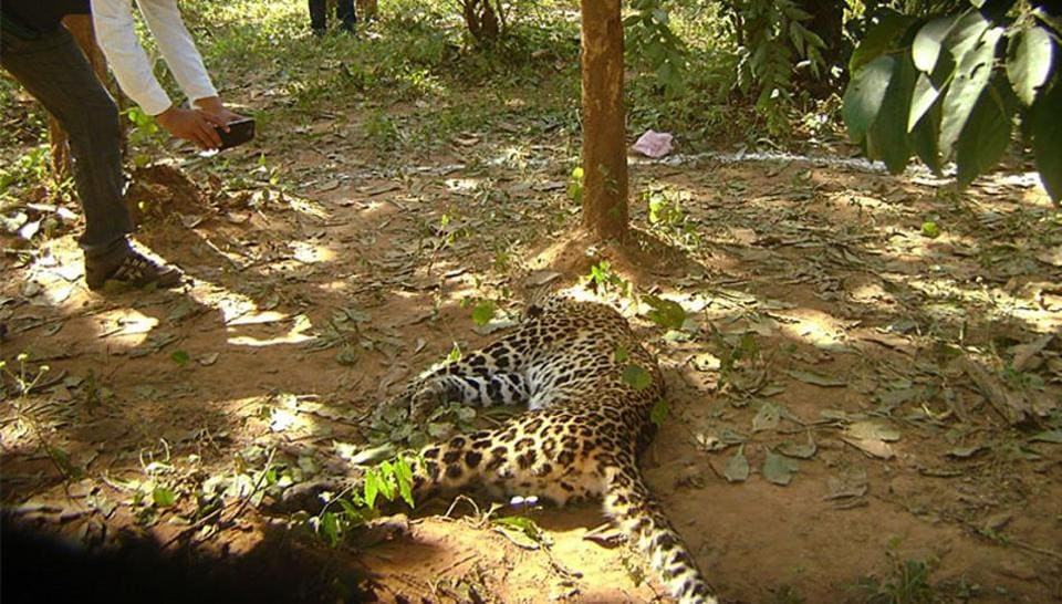 A four-year-old female leopard was found dead in the Yeoor range of Sanjay Gandhi National Park (SGNP) on Saturday morning.  (Representative Image)