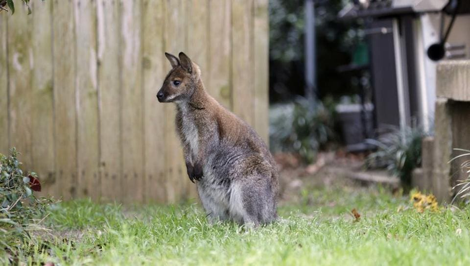 A wallaby roams in the front yard of a Dallas neighborhood.