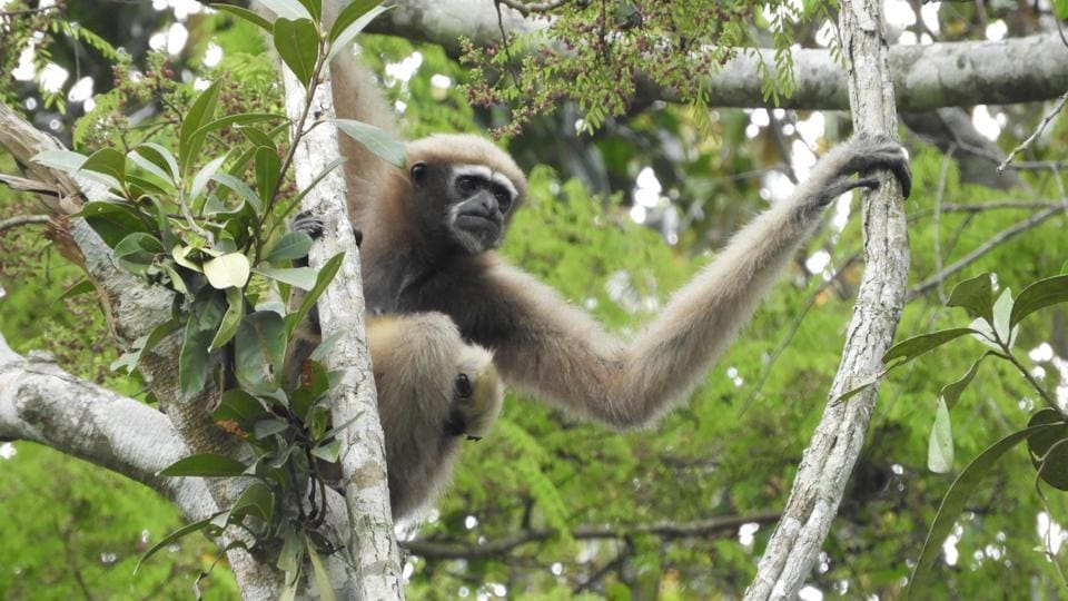 A female Hoolock Gibbon. It is estimated that only about 3,000 Western Hoolock gibbons are left in northeast India today.