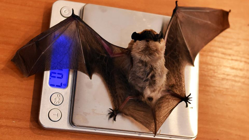 Alexei Shpak, the head of a bat rescue centre, weighs a bat as it wakes up after spending the winter months hibernating inside a fridge in Minsk, Belarus. The Kozhanopolis centre, which is located in Minsk, takes in bats that are found by members of the public after struggling to find a safe place to hibernate. (Sergei Gapon / AFP)