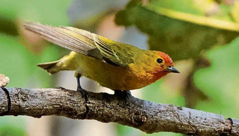 himalayan bird,gurugram,delhi