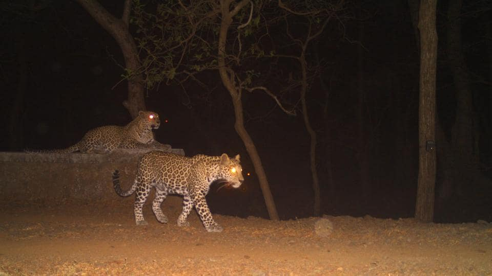 The camera-traps, set-up across an area of 140 sq km of SGNP, photographed eight leopard cubs.
