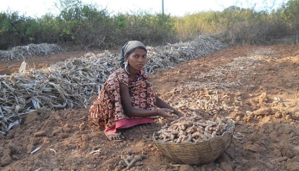 After losing battle for Rosogolla, Odisha turmeric gets GI