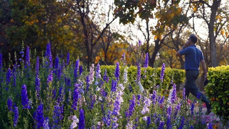 Larkspur flowers at Nehru Park.  (Gokul VS/Hindustan Times)
