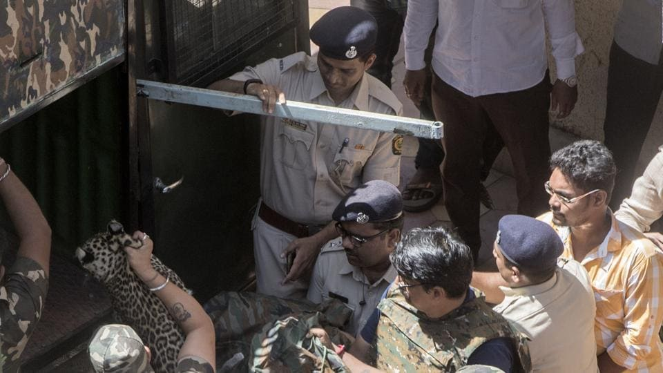 Forest department personnel take the tranquillised leopard to SGNP on Monday.