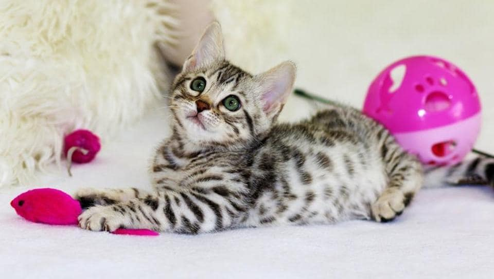 Researchers studied 78 cats from households and a cat cafe.