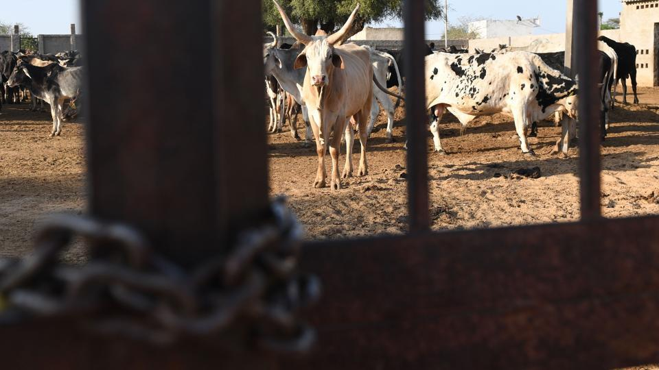 Incidents of mob lynchings have spiked, with 44 people -- including one in Rajasthan -- killed in cow-related attacks between May 2015 and December last year, says Human Rights Watch. The BJP says it opposes all violence, but even the fear of attack and tougher laws have disrupted the cattle trade. This has led to farmers abandoning old and infirm cows instead of selling them for slaughter, resulting in more strays. (Abhaya Srivastava / AFP)