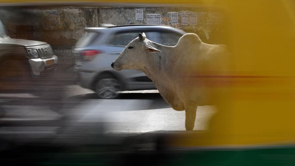 A stray cow stands near traffic on a road in Rewari, Haryana. Wandering cattle, often eating plastic rubbish or ruminating at busy traffic intersections, have become a much more common sight in towns, villages and cities since Modi came to power. In 2015, the last year for which government figures are available, more than 550 people were killed in accidents involving stray cattle. (Abhaya Srivastava / AFP)