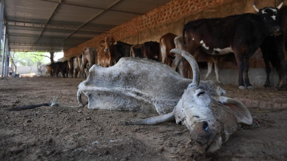 A sick cow lies down inside a temporary shelter. Sandeep Kajla, head of the Gramya Bharat Jan Chetna Yatra, a social organisation based in Pilani, said one farmer can look after one animal but here, cows are roaming around in hundreds. (Abhaya Srivastava / AFP)