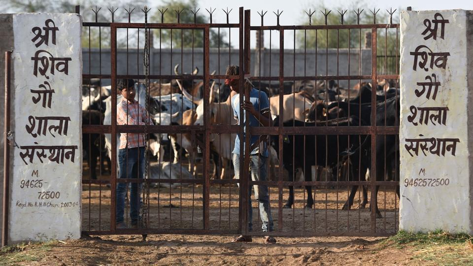 Some villagers are now pooling money from their modest savings to herd the strays into makeshift shelters, at least through the harvest season. In December and January, exasperated farmers across the northern state of Uttar Pradesh locked up stray cattle at district schools to protect their crops, meaning lessons had to be held outside. (Abhaya Srivastava / AFP)