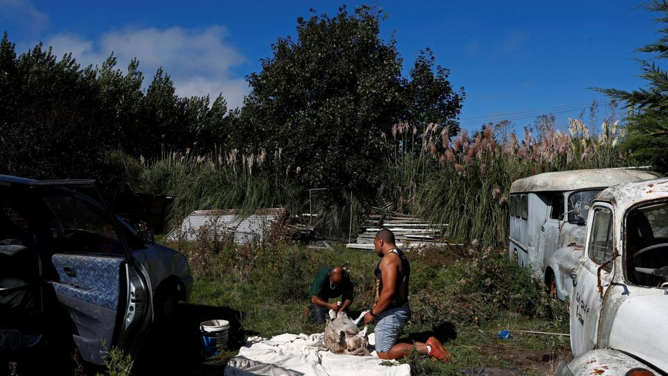 On a small farm on the outskirts of Christchurch in New Zealand, Omar Nabi (L) dug a small hole and sharpened a knife, preparing to slaughter a sheep as a blessing to his father – a victim of the mass killings at the Al Noor mosque. Hunched between his father's collection of rusted cars, Nabi softly said a prayer and slit the animal's neck, facing it towards Mecca. No part of the animal was wasted, he said. (Edgar Su / REUTERS)