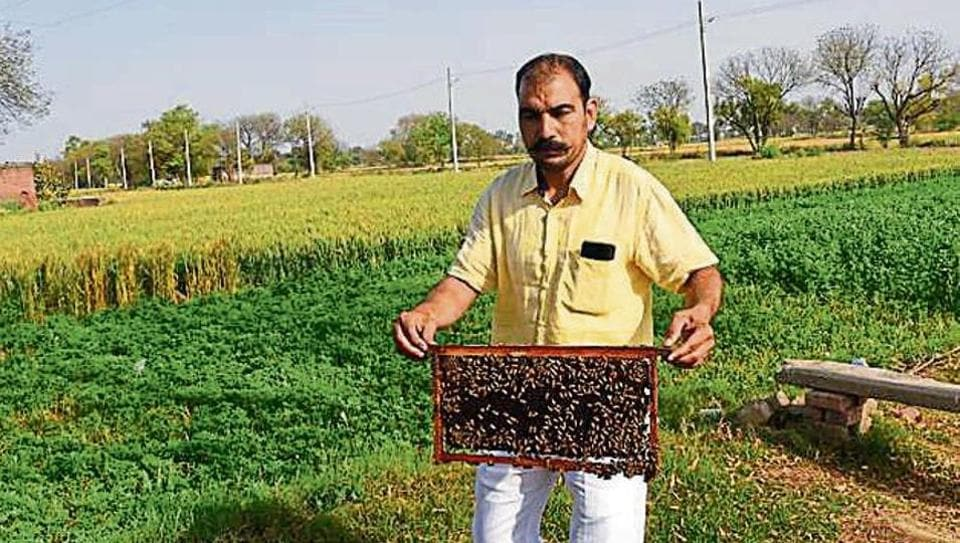 Besides honey, the bees also helped the village produce a bumper mustard crop due to cross pollination.