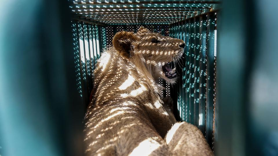 "A sedated lioness is pictured in a cage at a zoo in Rafah in the southern Gaza Strip, during the evacuation by members of the international animal welfare charity ""Four Paws"" of animals from the Palestinian enclave to relocate to sanctuaries in Jordan. (Said Khatib / AFP)"