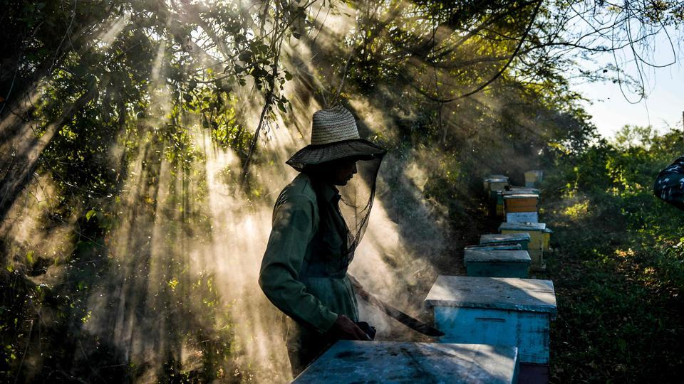 A beekeeper works at an apiary in Navajas, Matanzas province, Cuba. In the mountains of Matanzas province, in western Cuba, bees buzz free of agrotoxic, enjoying a diet rich in wild flowers and producing a high quality honey, that European markets crave for. (Yamil Lage / AFP)