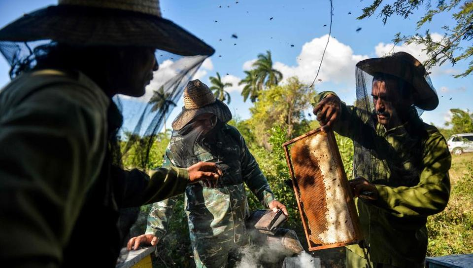 """Beekeepers collect honeycombs at an apiary. In the floral valleys of Matanzas, old fashioned farming means bees can swarm without the threat of pesticides that have decimated populations across the world. """"The bee is made neither for urban areas nor rural areas. It is made for the mountains,"""" said Rogelio Marcelo Fundora, surveying a lush mountain valley east of Havana where his bees thrive. (Yamil Lage / AFP)"""