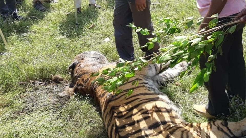 This is the fourth successive death of a big cat in the district since November 2018.