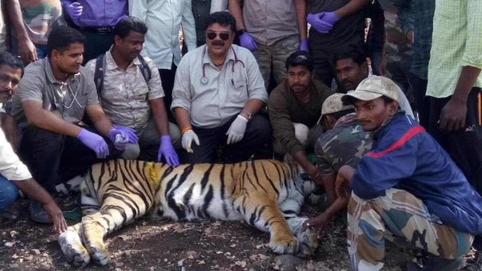 Forest officials attach radio collar to a tiger in Vidarbha.