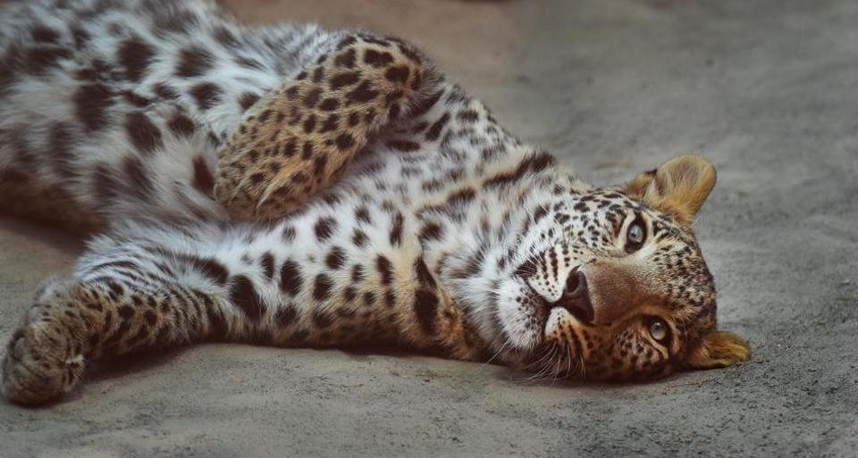 Leopard,death,Bihar