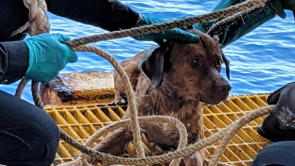 Workers help the stranded dog after it was found swimming in the Gulf of Thailand.