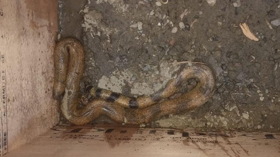 two headed snake rescued in noida,red sand boa,noida