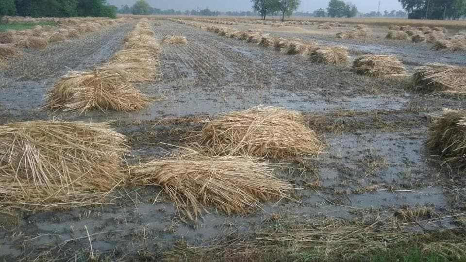 The rainfall occurred at a time when the crop in the majority of areas is in harvesting stage.