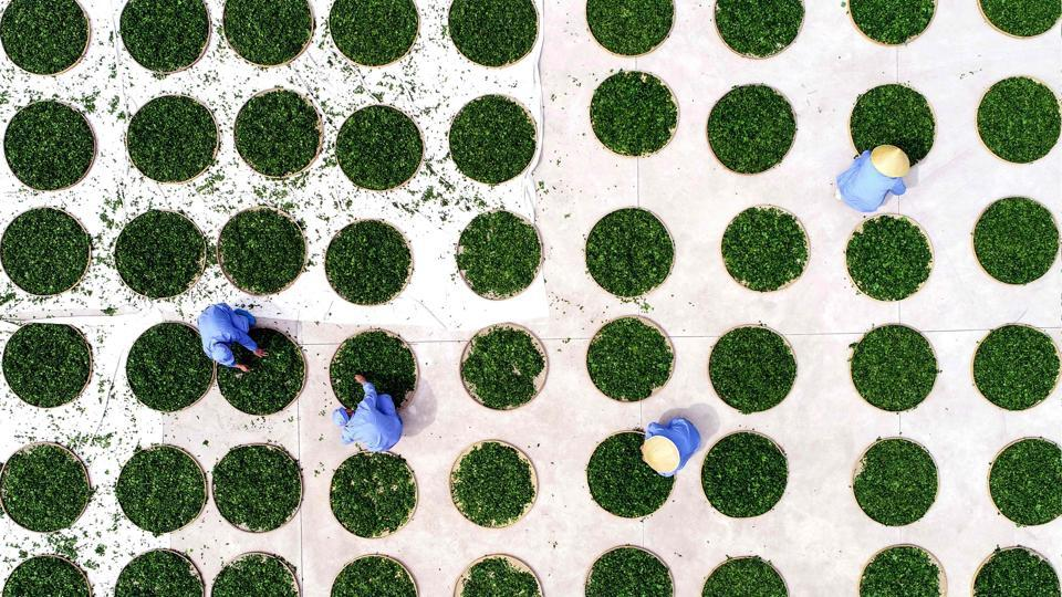 Farmers dry ginkgo leaves used to make ginkgo biloba tea at a tea field in Linyi in China's eastern Shandong province. (AFP)