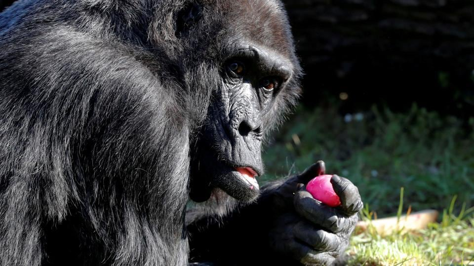 Western lowland gorilla Fatou eats a hard-boiled Easter Egg during a media event at the Zoo in Berlin, Germany. (Fabrizio Bensch / REUTERS)