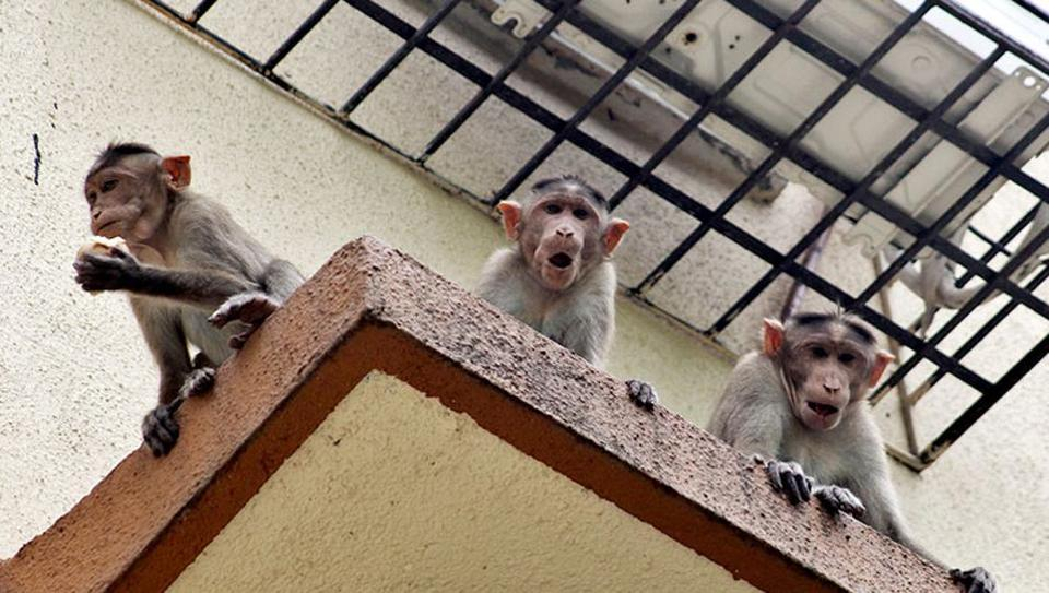 To control the monkey menace in the city, the Delhi government's forest department is pinning all its hopes on an injectable contraceptive, developed by an IIT Delhi professor in the 1980s, for human males.