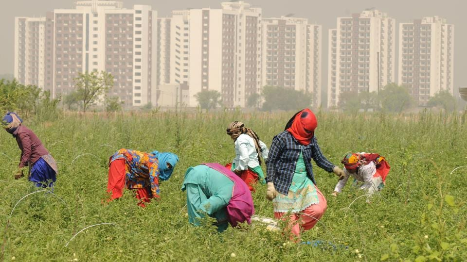 Labourers pluck ripe tomatoes in the 54 acre farm in Gurugram's Makdola village next to AIIMS hospital in Haryana. Women in the age group of 20-50 years are currently employed at the farm from neighbouring villages of Iqbalpur and Kaliawas. (Parveen Kumar / HT Photo)