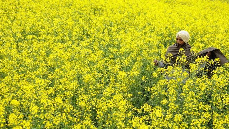 Mustard has so far on average sold 17% below MSP (between April 1 and 15). In most markets in Rajasthan, the largest grower of winter mustard, the commodity has failed to reach MSP levels.