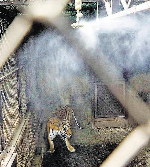 Extra foggers (seen in picture) and water coolers have been installed in the enclosures for tigers, lions and leopards.