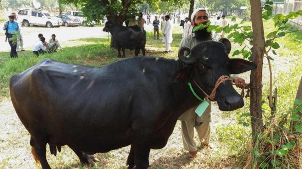 'High traces of lead, mercury in buffalo milk': Study