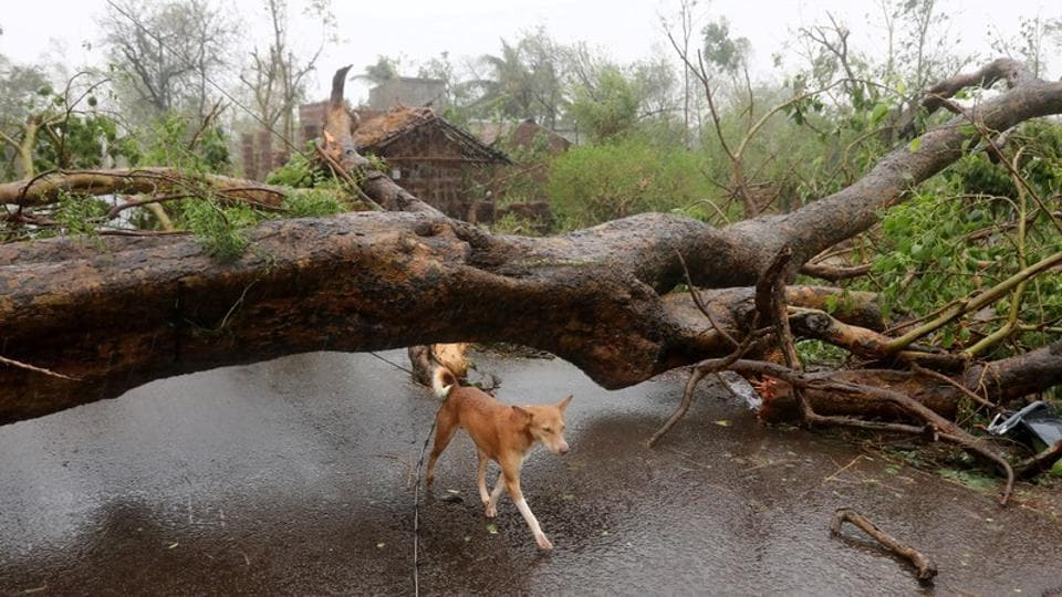 A dog walks under an uprooted tree following Cyclone Fani in Khordha district, in Odisha. The cyclonic storm has now weakened into a deep depression and lay centred over Bangladesh and expected to weaken further into a depression. (R. Narendra / REUTERS)