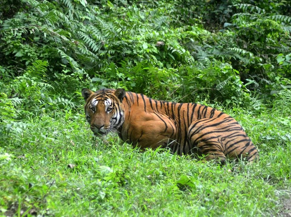 A male Royal Bengal Tiger aged around 12 years has died in Assam's Kaziranga National Park following infighting with another feline, park officials said on Thursday. The decomposed body of the tiger was found in the Baruntika area of the 430sqkm- park's Kohora range on Wednesday. The animal is suspected to have died nearly two weeks ago. (AFP / STR File)
