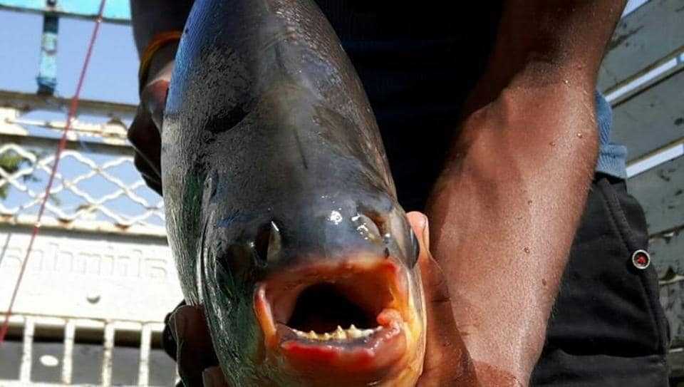 Virgilio Martinez, chef-owner of a restaurant in Peru said he hoped to serve the predatory, sharp-toothed fish at an LA food festival.