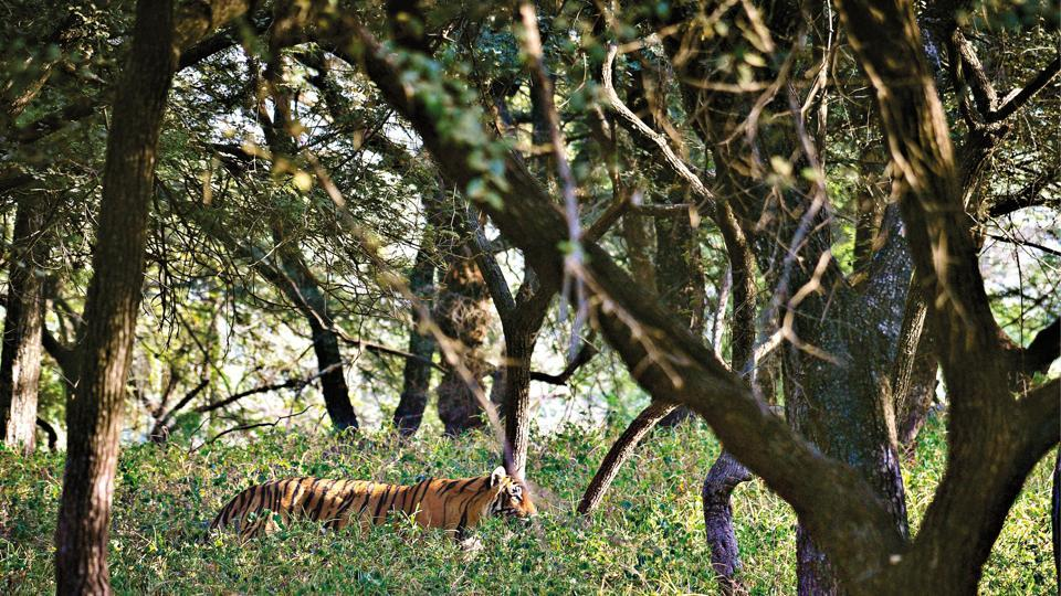 Ranthambore codes its tigers with the letter T and a number against the letter so as to keep track of them