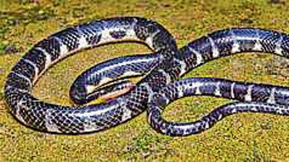 Rain snake,Mizoram,Non-venomous