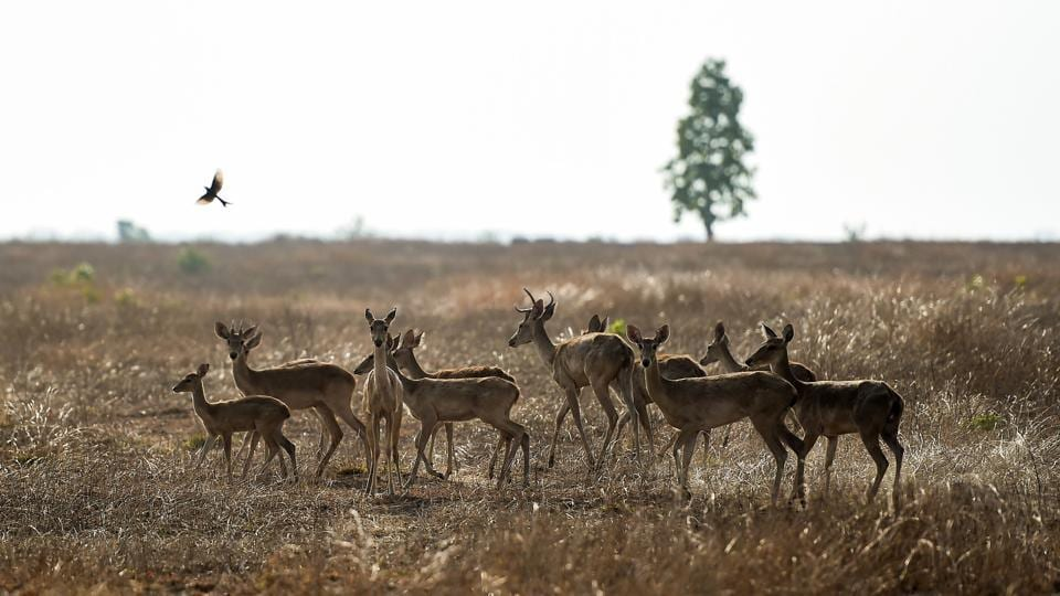 Eld's deer roam in the Shwe Settaw nature reserve in the Magway region of Mayanmar. The reserve, home to the endemic species of Eld's or golden deer, lies in the country's central dry zone where water shortages are rife in the hot season. However, through a crowdfunding campaign on Facebook, the deer are now receiving the water they need for survival. (Ye Aung Thu / AFP)