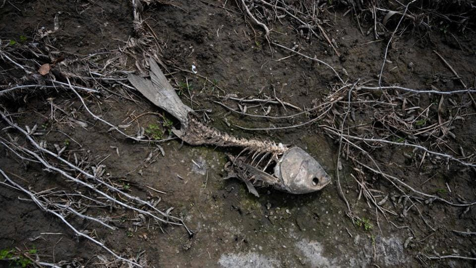 "A skull of a washed ashore fish lies amid destroyed soybeans at the farm. Animals have died in the floods and others perished after being sickened by bad water. ""I know people who lost a lot of their animals because they were stranded in the floods,"" said Jim Dinklage, a farmer in Orchard. ""You couldn't have access to them."" (Johannes Eisele / AFP)"
