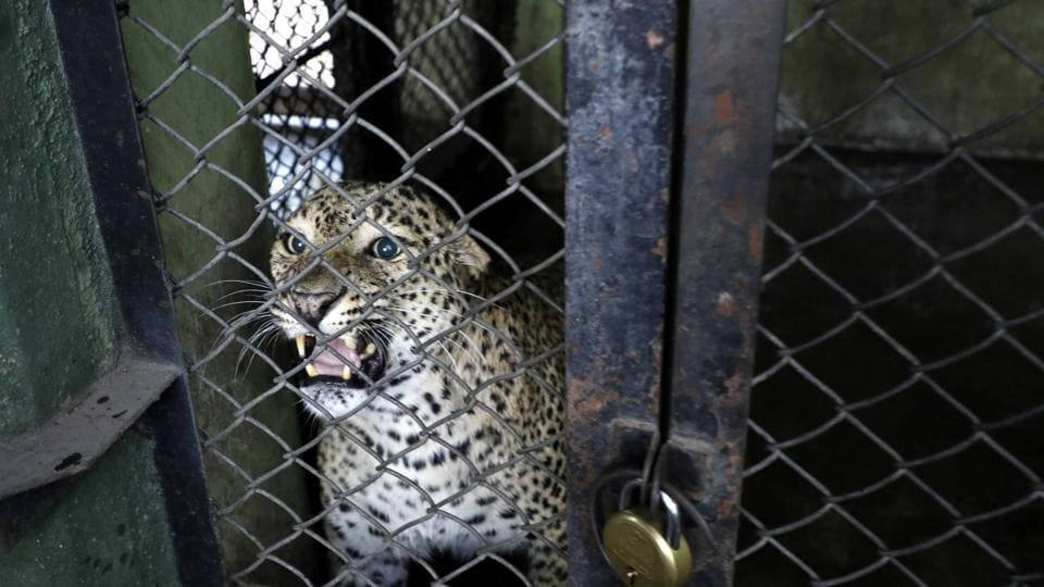 Leopard spotted in Aundh, defence issues advisory to its staff