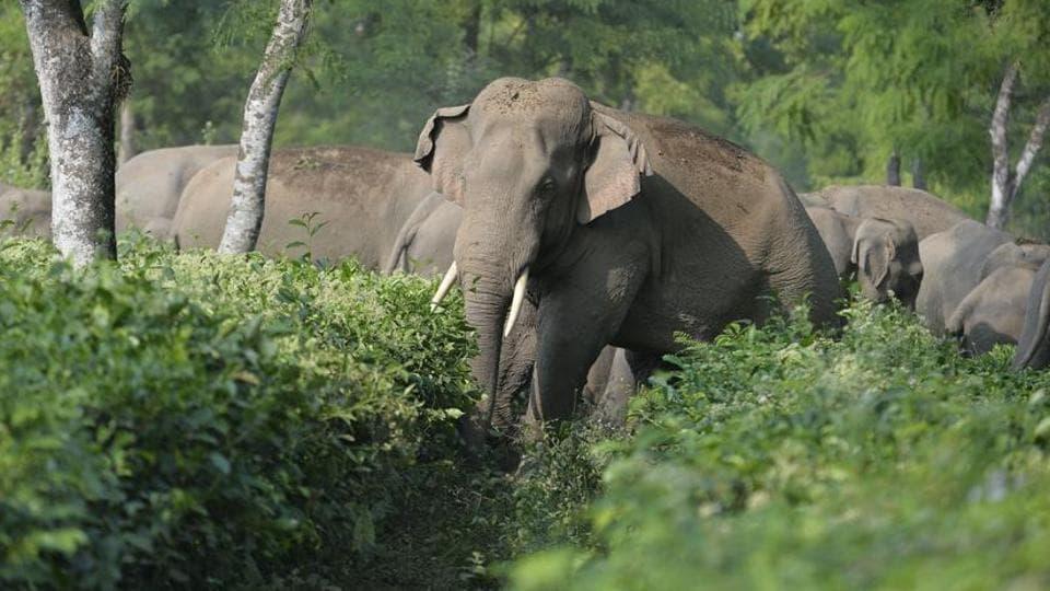 Elephants kill man,West Bengal,India news