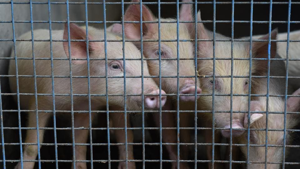 A piggery to earn a living has resulted in an unexpected backlash from Assam's largest religious body, Srimanta Sankardev Sangha,  in Biswanath.